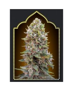 OO Seeds – Auto Cheese Berry (now called Auto Hashchis Berry) Marijuana Seeds