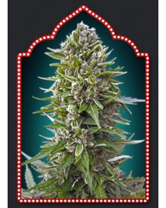 OO Seeds – Auto Feminized Collection #2 Cannabis Seeds