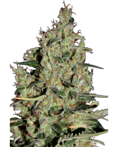 Seedmakers Seeds – Auto Critical Marijuana Seeds
