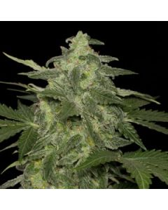 Black Skull Seeds – Diesel-Matic Marijuana Seeds