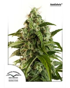 Dutch Passion – Auto Euforia Cannabis Seeds