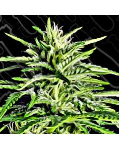 Critical Mass Collection – Auto Massassin Cannabis Seeds