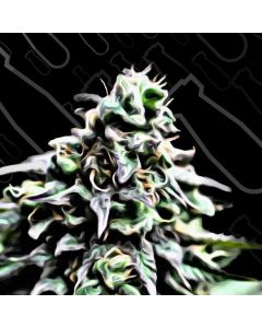 Critical Mass Collection – Auto Masszar Cannabis Seeds