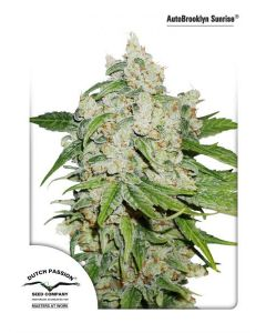 Dutch Passion – Auto Brooklyn Sunrise Cannabis Seeds