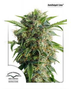 Dutch Passion – Auto Daiquiri Lime Cannabis Seeds