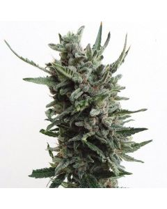 TH Seeds Seeds – Auto Critical Hog Marijuana Seeds