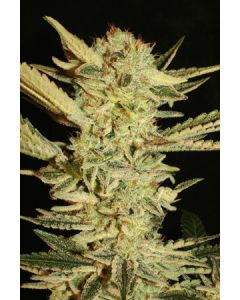 Super Stains – Automatic Fini Marijuana Seeds