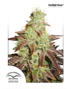 Dutch Passion – Auto Night Queen Cannabis Seeds