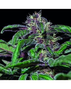 Barneys Farm – Ayahuasca Purple Marijuana Seeds