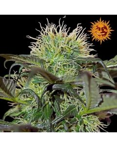 Barneys Farm – Bad Azz Kush Marijuana Seeds