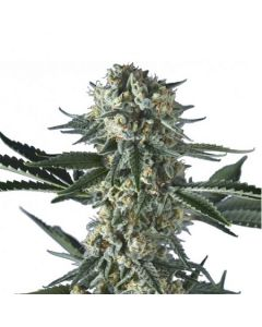 Hero Seeds – Batgum Cannabis Seeds