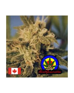 Next Generation – BC Big Bang Cannabis Seeds