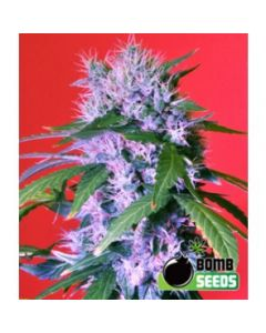 Bomb Seeds - Berry Bomb Auto