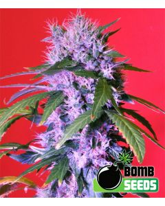 Bomb Seeds – Berry Bomb Auto Cannabis Seeds