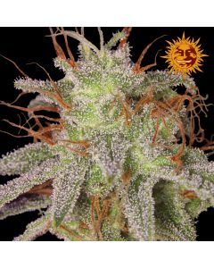 Barneys Farm - Amnesia Lemon Cannabis Seeds