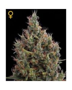 Green House Seeds - Big Bang Automatic