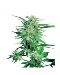Sensi Seeds – Big Bud Cannabis Seeds