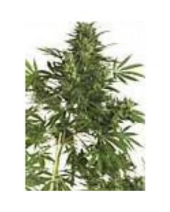 High Quality Seeds - Big Bud Super Skunk