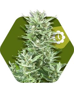 Zambeza – Big Bud XXL Auto Cannabis Seeds