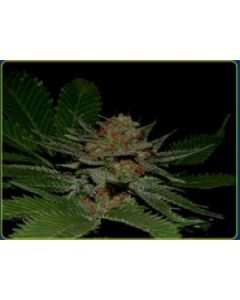 Soma Seeds – Big Kahuna Marijuana Seeds