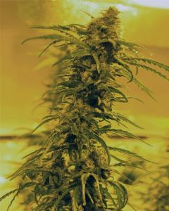 Medicann – Black Blood Marijuana Seeds