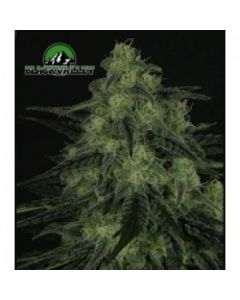 Ripper Seeds – Black Valley Marijuana Seeds