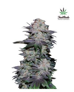Fast Buds – Blackberry Marijuana Seeds