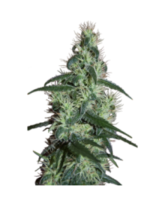 Seedmakers Seeds – Blizzard Marijuana Seeds