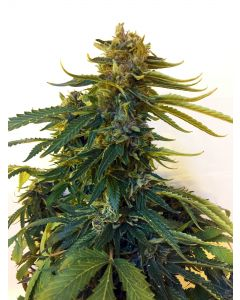 Midweek Song – Blue Cheese Song Cannabis Seeds