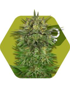 Zambeza – Blue Dream Cannabis Seeds