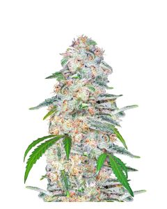 Fast Buds – Blue Dream'matic Cannabis Seeds