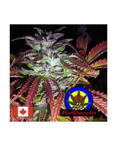 Next Generation – Blue Dynamite Cannabis Seeds