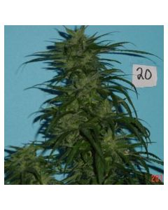 Jordan of The Islands – Blue Hawaiian Sativa Marijuana Seeds