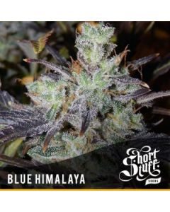 Short Stuff Seeds – Blue Himalaya Marijuana Seeds