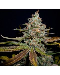 Gage Green Group – Blue in Green Marijuana Seeds