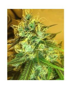 Medicann – Blue Mountain Durban Marijuana Seeds