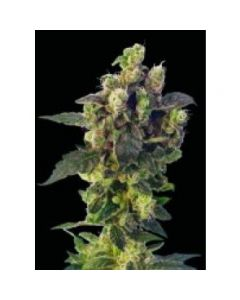 Sagarmatha Seeds – Blue Thunder Marijuana Seeds