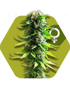 Zambeza – Blue Widow Cannabis Seeds