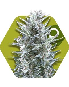 Zambeza – Blueberry Cannabis Seeds