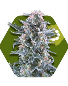 Zambeza – Blueberry Auto Cannabis Seeds