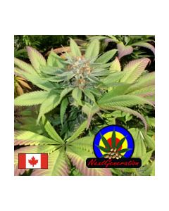 Next Generation – Blueberry Punch Cannabis Seeds