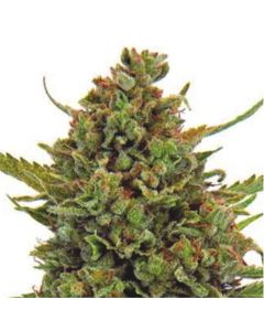 Dispensario Seeds – Auto Critical Marijuana Seeds