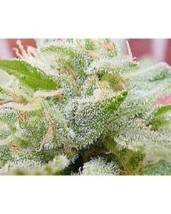 Goodhouse Seeds – Braze Unicorn Cannabis Seeds