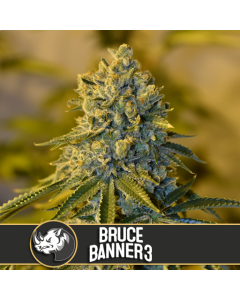Blim Burn Seeds – Bruce Banner #3 Cannabis Seeds