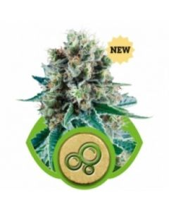 Royal Queen Seeds – Bubble Kush Automatic Cannabis Seeds