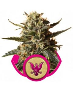 Royal Queen Seeds – Bubblegum XL Cannabis Seeds