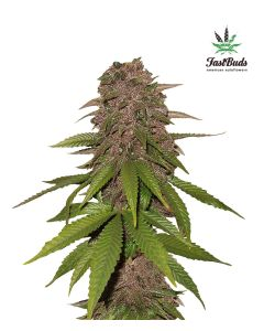 Fast Buds – C4-Matic Cannabis Seeds