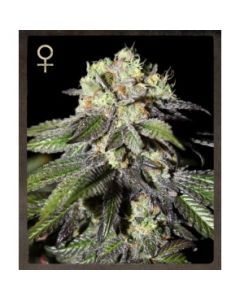 Strain Hunters Seeds – Caboose Marijuana Seeds