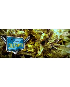 The Doctor – Califa #13 Cannabis Seeds
