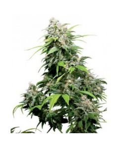 Sensi Seeds – California Indica Cannabis Seeds